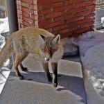 Fox on Etna
