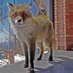 Fox on Etna at Hotel Corsaro